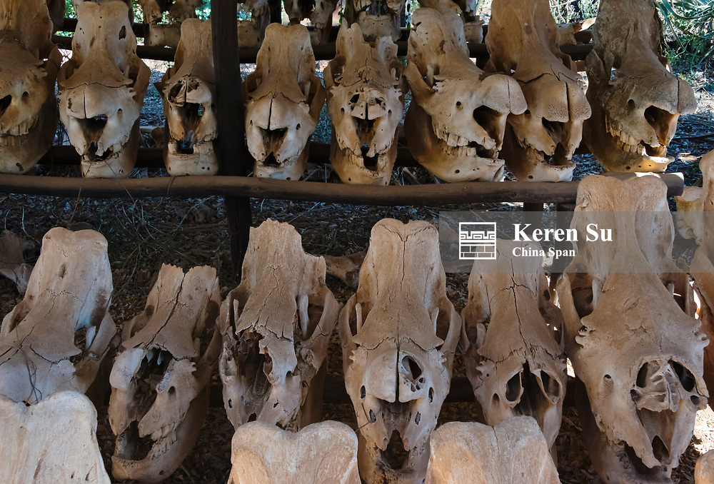Skulls of poached White Rhinos at Mkhaya Game Reserve, Swaziland