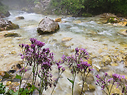 Purple flowers bloom beside a clear stream flowing across rocks. Krajcarica Creek is in Zadnjica Valley, a short (3.5km), very-steep-sided offshoot of the Trenta valley which descends directly from Mount Triglav (2864 meters/9396 feet), the highest peak of the Julian Alps, Europe. Mount Triglav is proudly depicted on the Slovenian coat of arms and flag. Triglav is the only National Park in Slovenia (in Slovene: Triglavski narodni park, TNP).