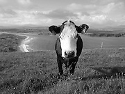 Black Whitehead Cow of Inishowen,