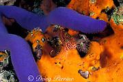spotted or threadfin hawkfish, <br /> Cirrhitichthys aprinus, on orange sponge <br /> by blue sea star, Linckia laevigata,<br /> Gato Island Marine Reserve, Philippines