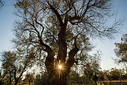 The Last Fight of Ancient Olive Trees. Salento, Italy