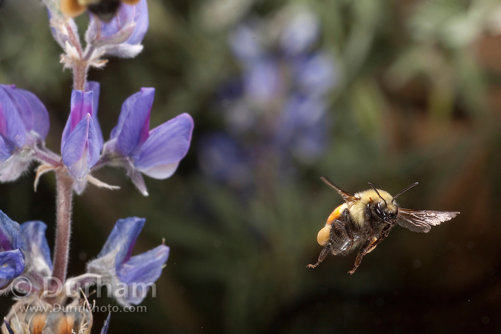 Tricolored bumble bee (Bombus Ternarius) flying among silky lupine (Lupinus sericeus) flowers. Moses-Coulee Field Station for The Nature Conservancy in Central Washington.