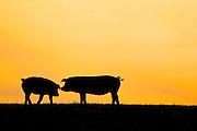 Pigs at sunset at Sheepdrove Organic Farm, Lambourn, England, United Kingdom