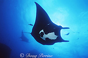 manta ray, Mobula birostris (formerly Manta birostris), is cleaned of parasites by jacks at sea mount, San Benedicto, Revillagigedos Islands ( Socorro Islands ), Mexico, Revillagigedo Archipelago National Park, a UNESCO World Heritage Site ( Eastern Pacific Ocean )
