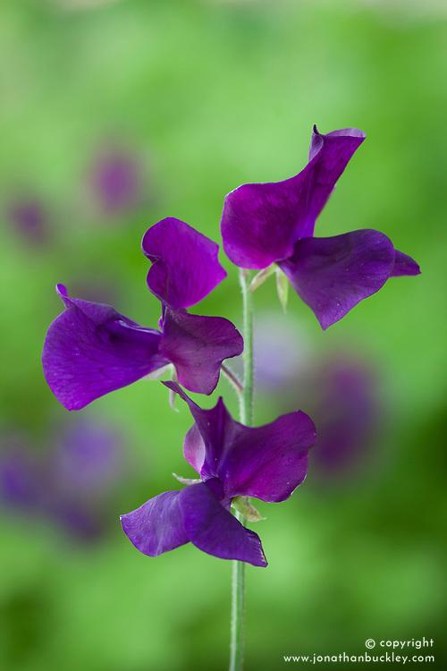 Lathyrus odoratus 'Top Hat'. Sweet pea