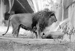 A pride of lions in their enclosure at the Parc Zoologique de Paris in the Bois de Vincennes, Tuesday, June 10, 1984, in Paris. (Photo by D. Ross Cameron)