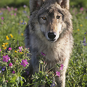 Gray wolf (Canis lupus) adult standing in a field of flowers, Rocky Mountains, Montana. Captive Animal
