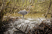A great blue heron (Ardea herodias) wades past the breach in a beaver dam after heavy rain. Philomath, Oregon.