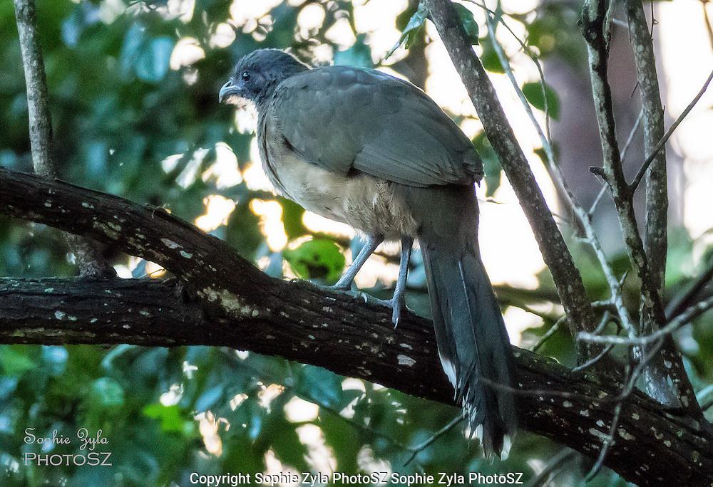 Plain Chachalaca hanging out in a tree in Quinta Mazatlan, McAllen, Texas