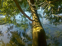 Western Red Cedar tree trunk hangs over water at Stavis Bay on the Hood Canal