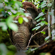 Sumatran Elephants, Leuser Ecosystem, Sumatra, Indonesia, 10th December 2017. Photo: Paul HILTON