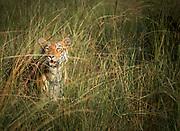 Tigress in grass in Tadoba Andhari Tiger Reserve in India