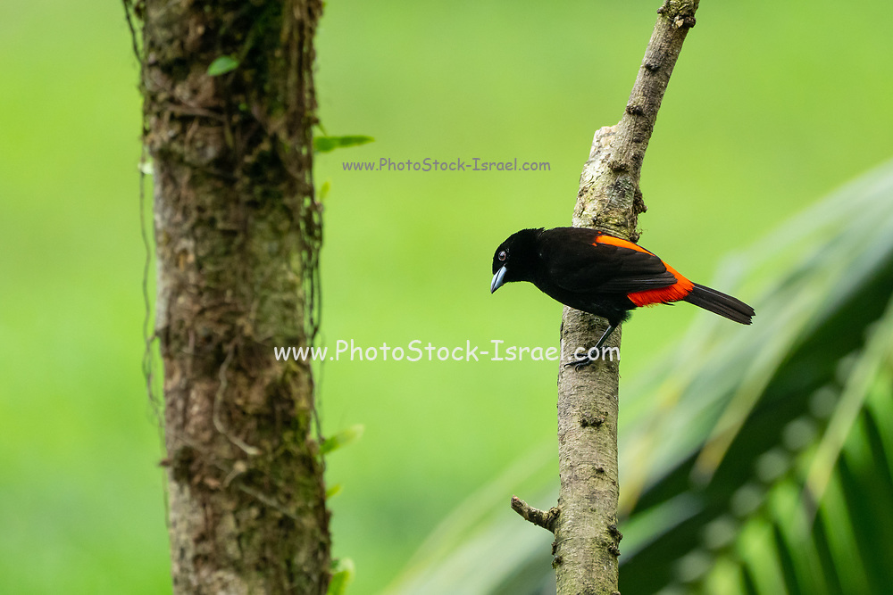 Male scarlet-rumped tanager or Passerini's tanager (Ramphocelus passerinii) perched on a branch. This songbird of tropical Central America, feeds on insects, spiders and fruit. Photographed in Costa Rica