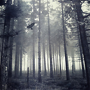 Foggy fir forest in the region of the High Fens, Belgium on a November day.