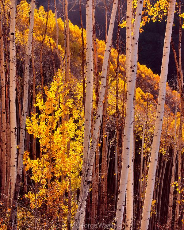 Aspens above the West Dolores River, San Juan National Forest, Colorado