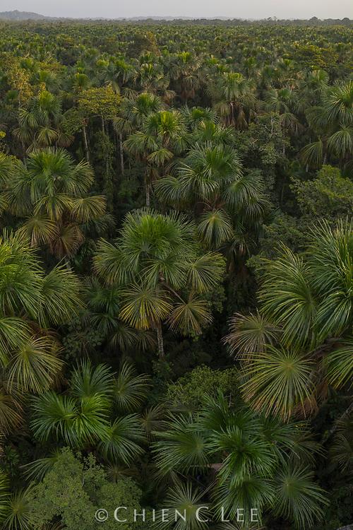 Swamp forest dominated by Moriche Palm (Mauritia flexuosa) covers vast areas of the Amazon Basin. Yasuní National Park, Ecuador.