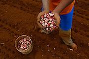 Sao Gotardo_MG, 18 de maio de 2015<br /> <br /> Fotos dos produtores de alho na regiao de sao gotardo.<br /> <br /> Foto: MARCUS DESIMONI / NITRO