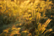 Barley (Hordeum vulgare L.).Campanarios de Azába reserve, Salamanca Region, Castilla y León, Spain