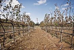 """Una vite coltivata a cordone speronato nei pressi della centrale a carbone """"Federico II"""" a Cerano (BR). 21/09/2008 (PH Gabriele Spedicato)"""