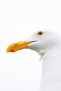Close-up of white seagull with water dripping from its beak in Sausalito Marina, California.