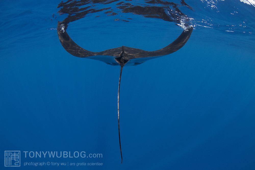 Rear view of a juvenile manta ray swimming in blue water in along the ocean surface skimming for food, with both wings in the up position