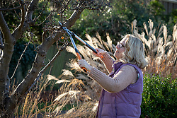 Pruning a crab apple tree with long handled loppers.