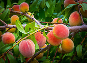 Peaches on tree branch in North Texas