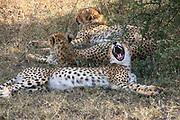 Three cheetahs (Acinonyx jubatus) resting in the shade, Photographed in Tanzania
