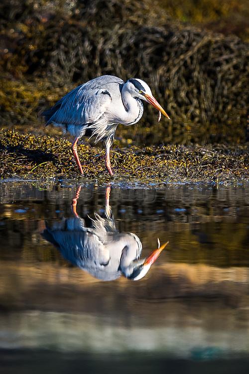 Gray Heron catching fish   Gråhegre fanger fisk
