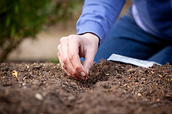 Sowing parnsip seeds outside in a drill.