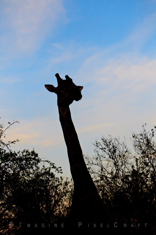 While on a South African safari we come upon a giraffe on the move just before sunset.