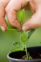 Pinching out sweet pea tips