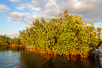 US, Florida, Key Largo. Mangrove forest.