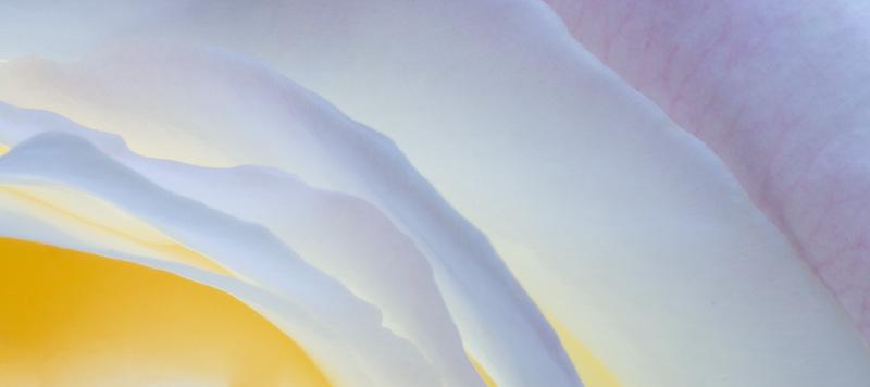 Peace Rose petals macro detail