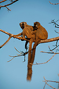 Red-fronted brown lemur, Eulemur rufus, Male & Female sitting on branch, Berenty National Park, Madagascar, IUCN Red List and listed on Appendix I of CITES