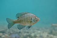 Bluegill Sunfish<br /> <br /> Isaac Szabo/Engbretson Underwater Photo
