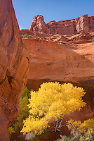 Cottonwood trees with golden leaves in Neon Canyon, Grand Staircase Escalante National Monument Utah