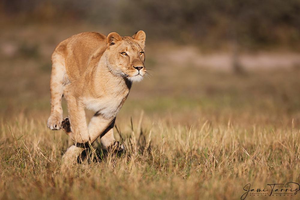 A female lioness running full speed, (Panthera leo), Kalahari Desert, Botswana Africa
