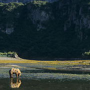 Alaskan Brown Bear (Ursus middendorffi) adult walking along the tidal flats. Alaskan Peninsula
