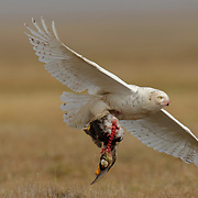 A female snowy owl flying into the nest site with a spectacled eider she killed and partially consumed. Alaska