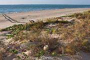 Australian flatback sea turtle ( Natator depressus ) females crawl up beach to nest in dunes at top of beach, Crab Island, off Cape York Peninsula, Torres Straits, Queensland, Australia