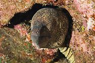 Yellow Margin Moray Eel, Gymnothorax flavimarginatus, (Rüppell, 1830), Lanai, Hawaii