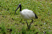 Avifauna, Europa's grootse vogelpark. / Avifauna - the largest bird sanctuary in Europe.<br /> <br /> Op de foto / On the photo: Heilige Ibis (Threskionis aethiopicus ) / Sacred ibis