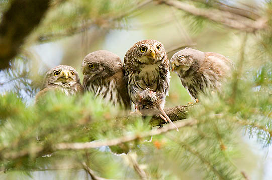Northern Pygmy Owl ( Glaucidium gnoma)  Adult and fledglings. Montana.