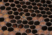 honeybee emerges from a Honeycomb