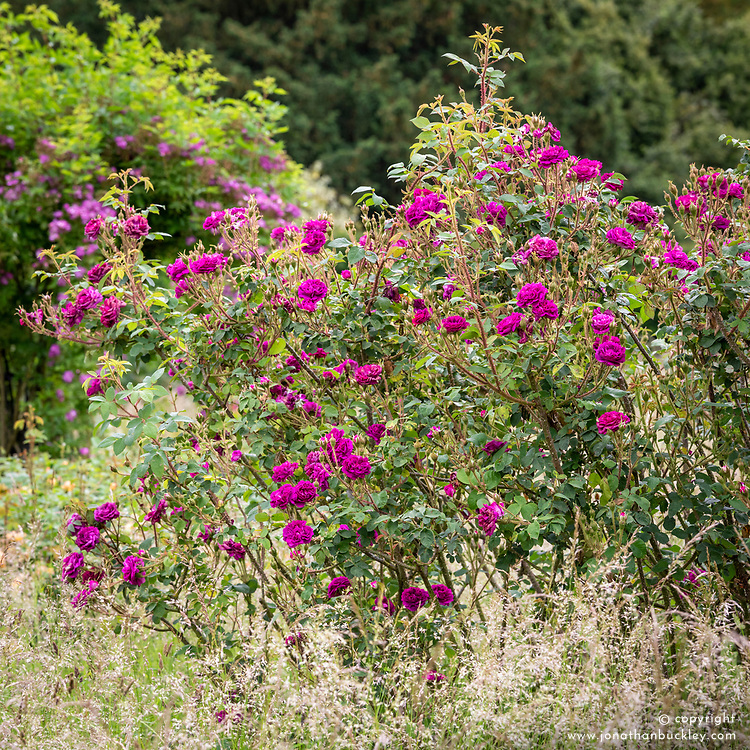 Rosa 'William Lobb' AGM growing in the meadow at Easton Walled garden