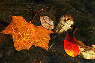 Kevin Bartram   Staff<br /> Leaves lie on the bottom of a stream at A.W. Stanley Park in New Britain.