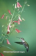 01162-054.19 Ruby-throated Hummingbird (Archilochus colubris) female on Penstemon (Penstemon barbatus) Shelby Co.  IL