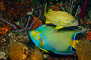 Queen Angelfish (Holacanthus ciliaris) and French Grunt (Haemulon flavolineatum) photographed in the Breakers Reef in Palm Beach, FL Image available as a premium quality aluminum print ready to hang.