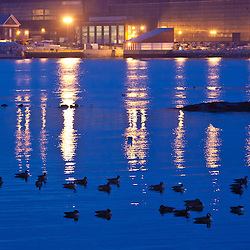 Canada Geese swim in the Piscataqua River across from the Portsmouth Naval Shipyard, Portsmouth, NH.